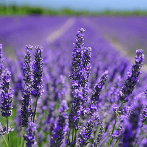 lots-of-lavender