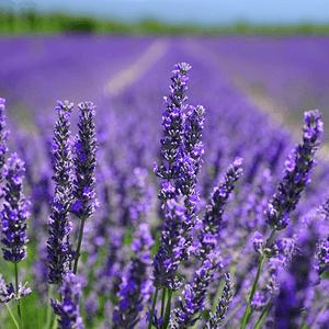lots-of-lavender